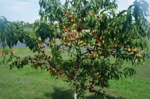 2015-07-19 Reliance-Peach-Tree 004