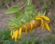 sunflowered